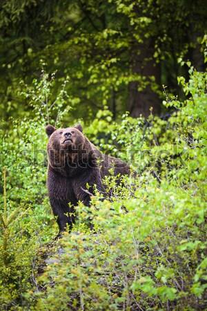 Bruine beer boom gelukkig natuur achtergrond zomer Stockfoto © lightpoet