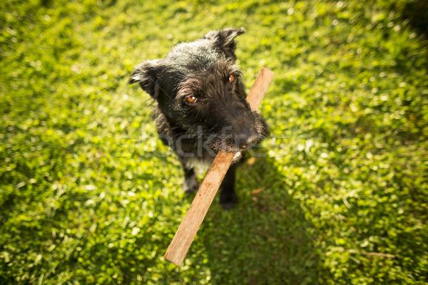 Cute perro jugando pieza madera tarde Foto stock © lightpoet