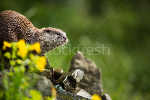 An oriental small-clawed otter / Aonyx cinerea /  Stock photo © lightpoet