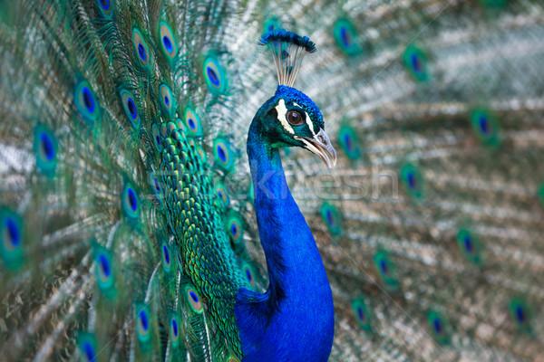 Pauw veren uit ondiep kleur Stockfoto © lightpoet