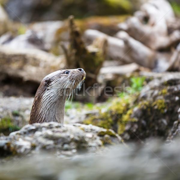 árvore cara rio vida cabeça animal Foto stock © lightpoet