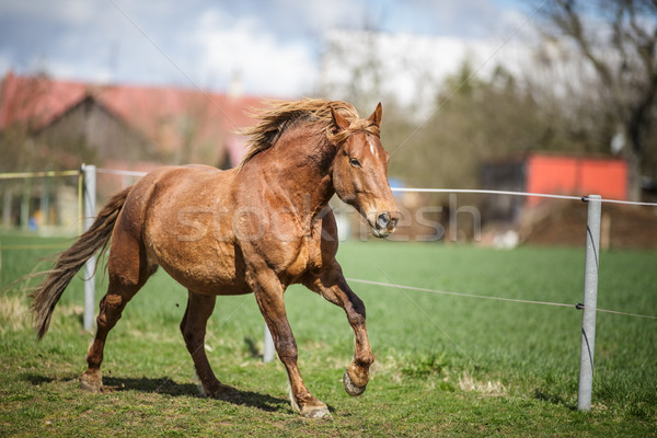 Horse running fast Stock photo © lightpoet