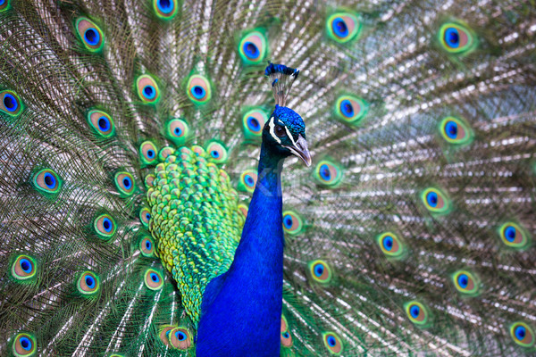 Splendid peacock with feathers out  Stock photo © lightpoet