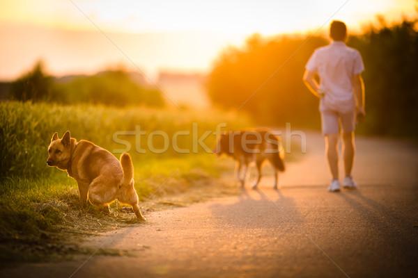 Man walking his two dogs in evening sunlight Stock photo © lightpoet