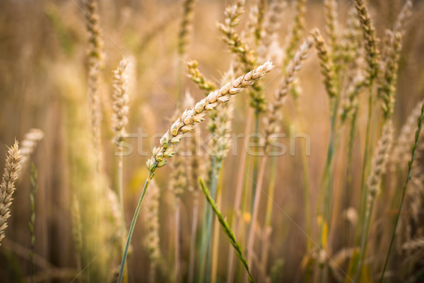 Ripe barley (lat. Hordeum) Stock photo © lightpoet