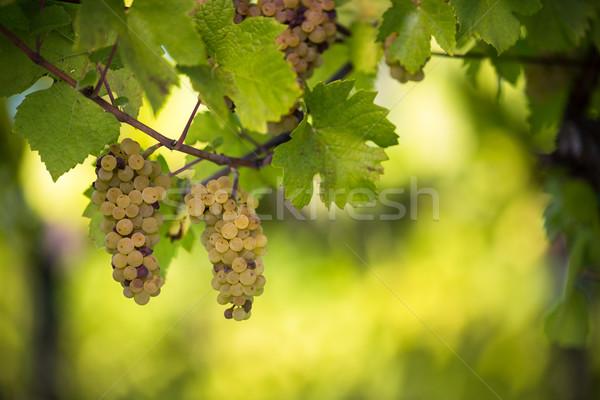 Stock fotó: Fehérbor · szőlő · szőlőskert · helyes · aratás · szín
