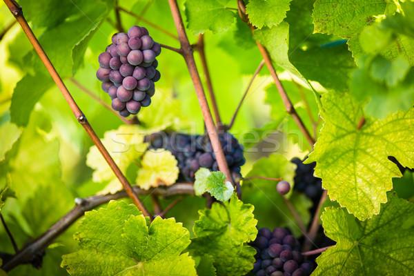 Groot rode wijn druiven oude wijnstok warm Stockfoto © lightpoet