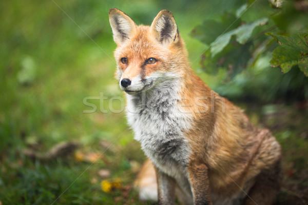красный Fox дерево собака лице стены Сток-фото © lightpoet