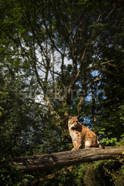 Сток-фото: рысь · глаза · лес · природы · кошки · снега