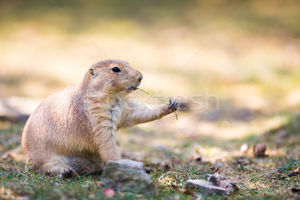 black tailed prairie dog Stock photo © lightpoet