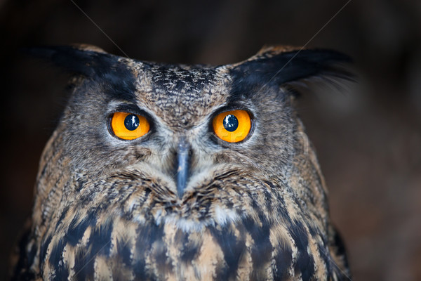 Closeup of a Eurasian Eagle-Owl (Bubo bubo) Stock photo © lightpoet