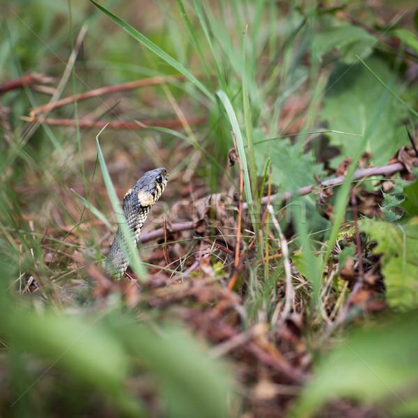 Grass snake (Aka Water snake; Natrix Natrix) Stock photo © lightpoet