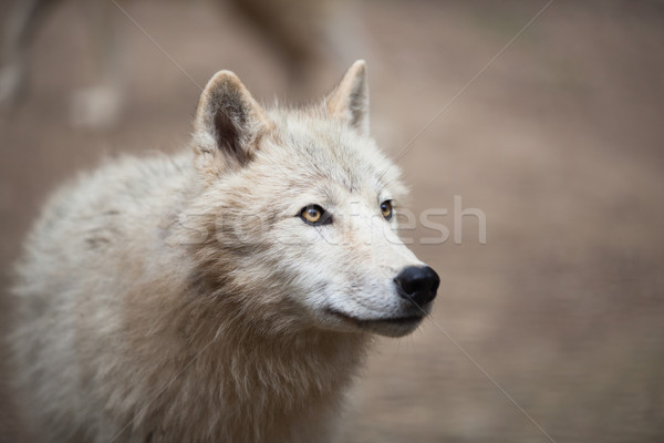Stock foto: Arktisch · Wolf · polar · weiß · Porträt