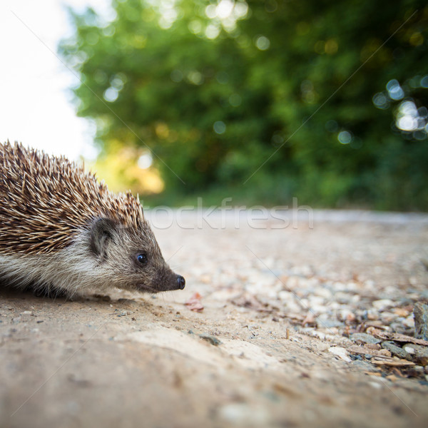 Baby European Hedgehog Stock photo © lightpoet