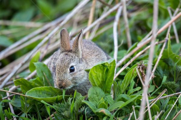 Wild rabbit, Scotland Stock photo © lightpoet