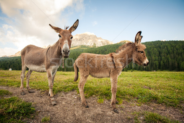 Stock photo: Two cute donkeys in Dolomites, Italy