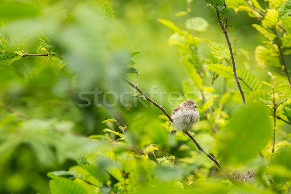 House Sparrow (Passer domesticus) on a branch against lush green Stock photo © lightpoet