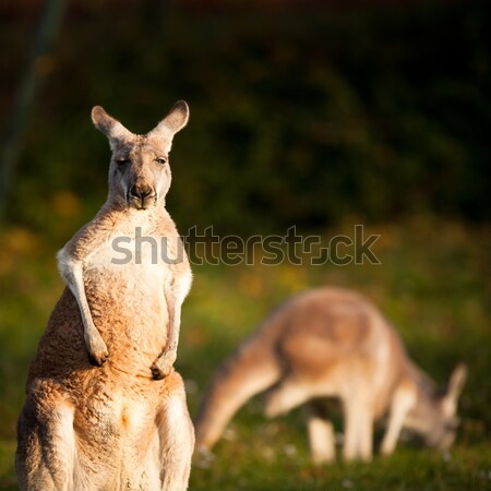 KANGAROO Stock photo © lightpoet