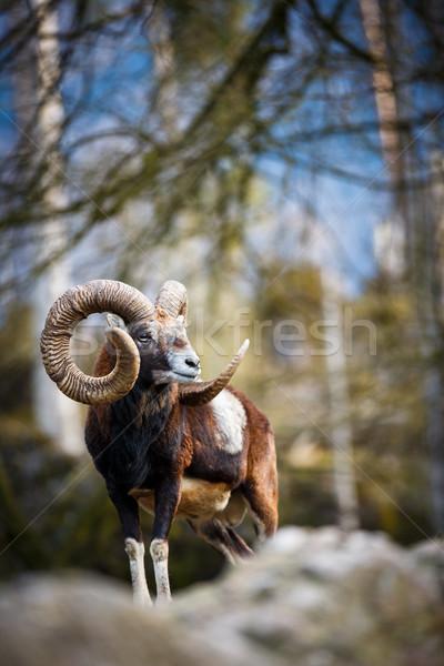 The mouflon (Ovis orientalis) Stock photo © lightpoet
