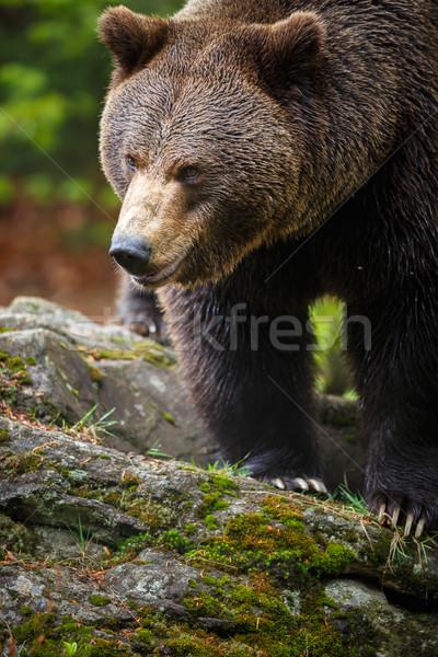 Bruine beer boom zonsopgang portret zwarte golf Stockfoto © lightpoet