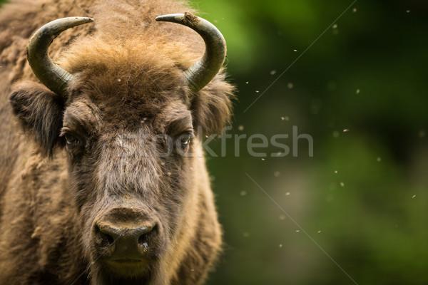 Európai bölény fű tehén mező tél Stock fotó © lightpoet