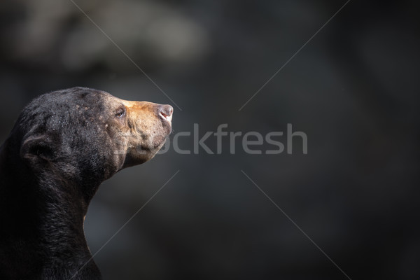 Malayan sun bear (Helarctos malayanus). Stock photo © lightpoet