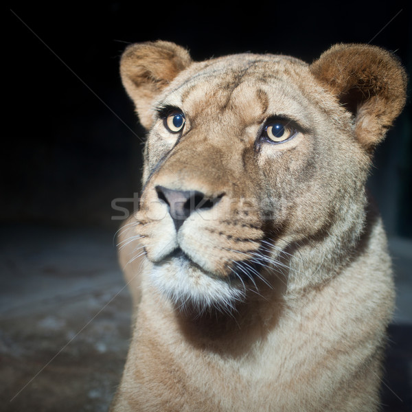 Close-up portrait of a majestic lioness (Panthera Leo) in nature Stock photo © lightpoet