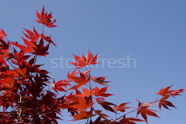 Red downy japanese maple Stock photo © limbi007