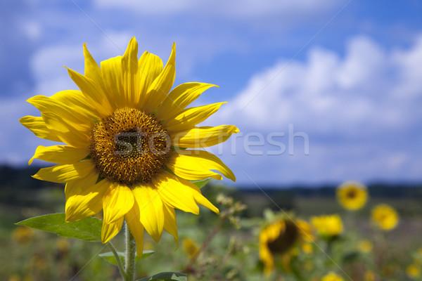Sunflower - Blue Sky Stock photo © limbi007
