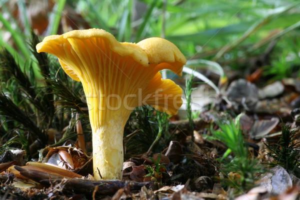 Comestible setas alimentos hierba forestales sabroso Foto stock © limbi007