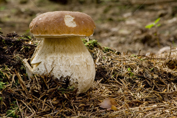 Paddestoel eetbaar champignon voedsel bos groene Stockfoto © limbi007