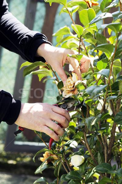 Bahçıvanlık ağaç bahar doğa bahçe bitki Stok fotoğraf © limpido