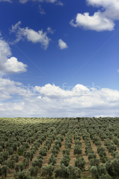 оливкового пейзаж области деревья небе Сток-фото © limpido