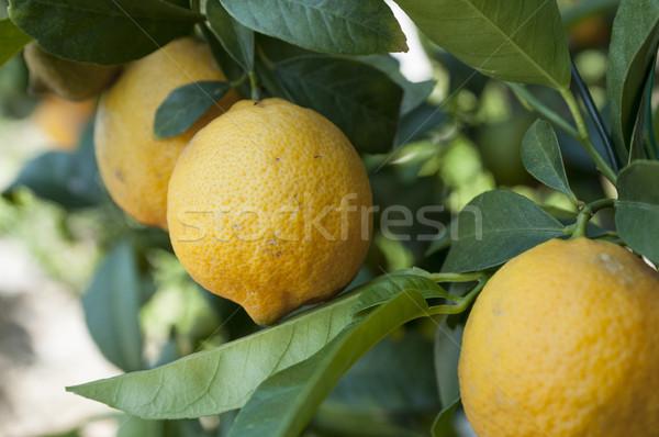 Limon olgun ağaç yeşillik limon Stok fotoğraf © limpido