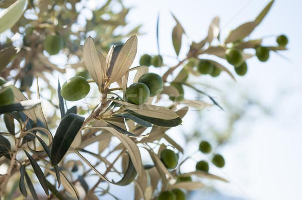 Zeytin olgun zeytin asılı yaz yeşil Stok fotoğraf © limpido