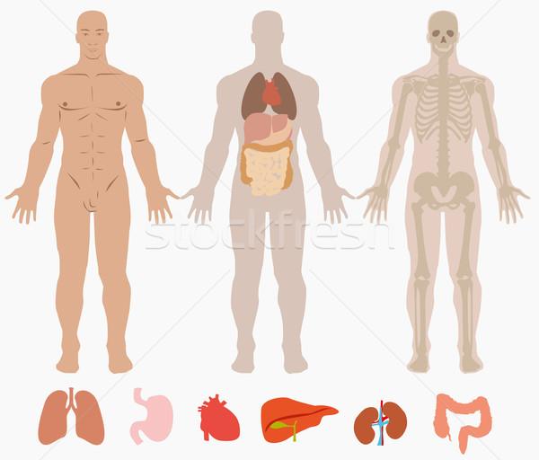 人体解剖学 男 ボディ 頭蓋骨 筋 白 ストックフォト © lindwa