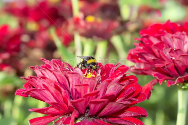 Diligent bourdon fleurs noir amour nature Photo stock © linfernum