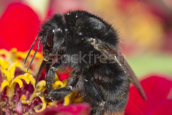 Diligente abejorro flores negro amor naturaleza Foto stock © linfernum