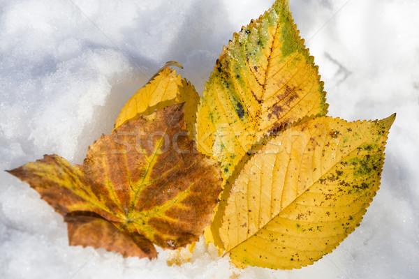 Fin automne or neige vignoble raisins Photo stock © linfernum