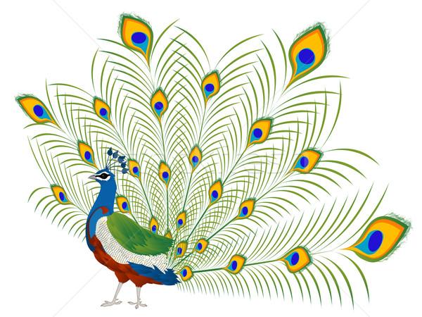 Paon illustration belle blanche nature design Photo stock © lirch