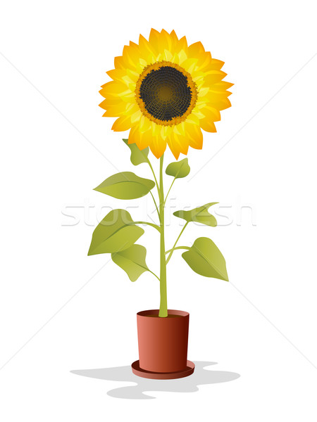 Potted sunflower Stock photo © lirch