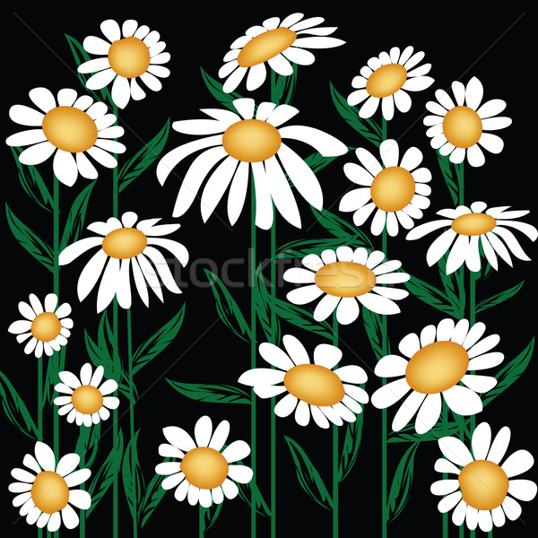 Chrysanthemum leucanthemum  Stock photo © lirch