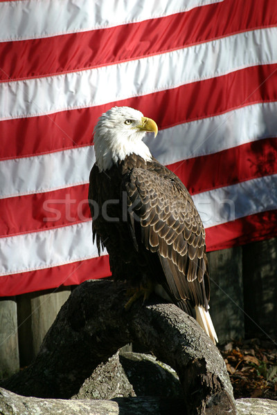 Amerikan kartal kel amerikan bayrağı kuş tüy Stok fotoğraf © lisafx