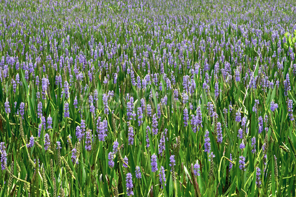 Sea of Purple 2 Stock photo © lisafx