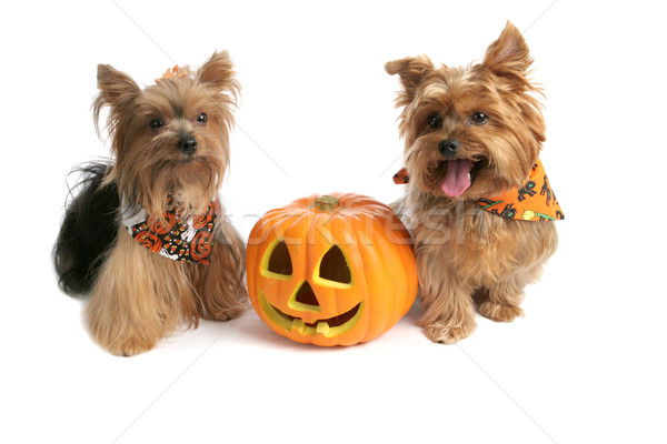 Yorkies At Halloween Stock photo © lisafx
