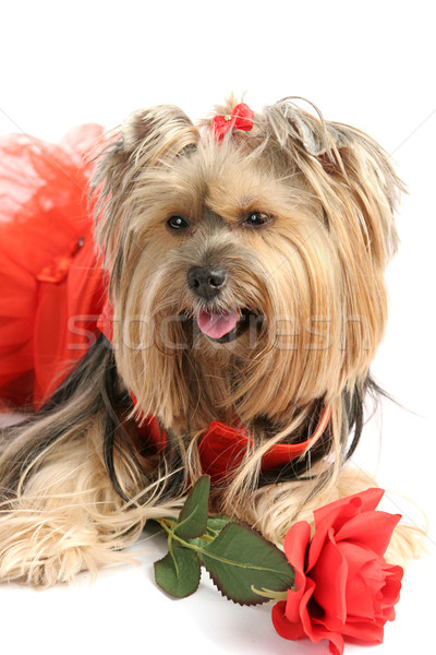 Yorkie Princess with Rose Stock photo © lisafx