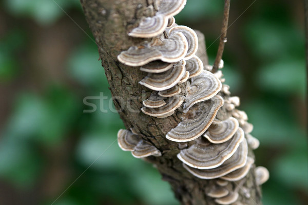 Lacy Tree Fungus Horizontal Stock photo © lisafx