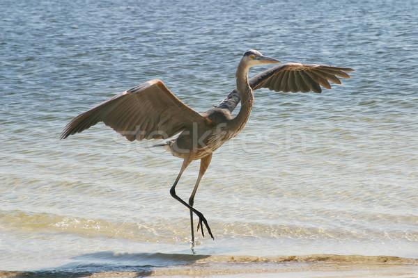 Blue Heron Lands Stock photo © lisafx