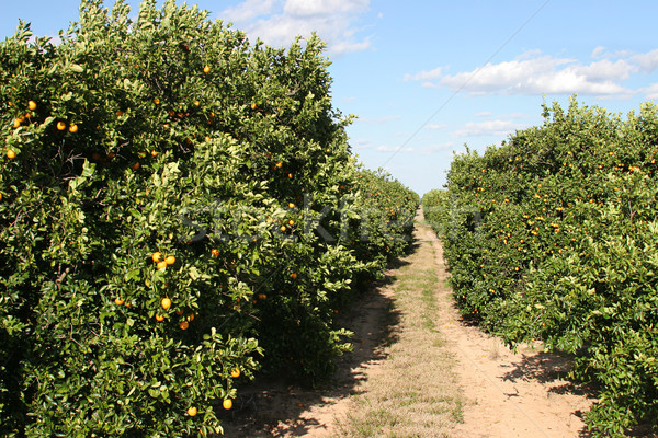 Path Through Orange Grove Stock photo © lisafx