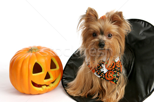Halloween Yorkie in Witch Hat Stock photo © lisafx